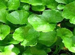 gotu-kola-bitkisi-faydalari-ve-tedavi-yontemleri-nelerdir